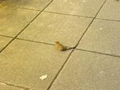 生態人:復興南路上的小鼠