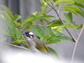 生態人:白頭翁 (Chinese Bulbul, Pycnonotus sinensis)