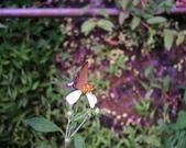生態人:20070725烏來的紅邊黃小灰蝶