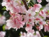 生態人:蜜蜂與櫻花(攝於新竹)