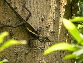 生態人:斯文豪氏攀木蜥蜴