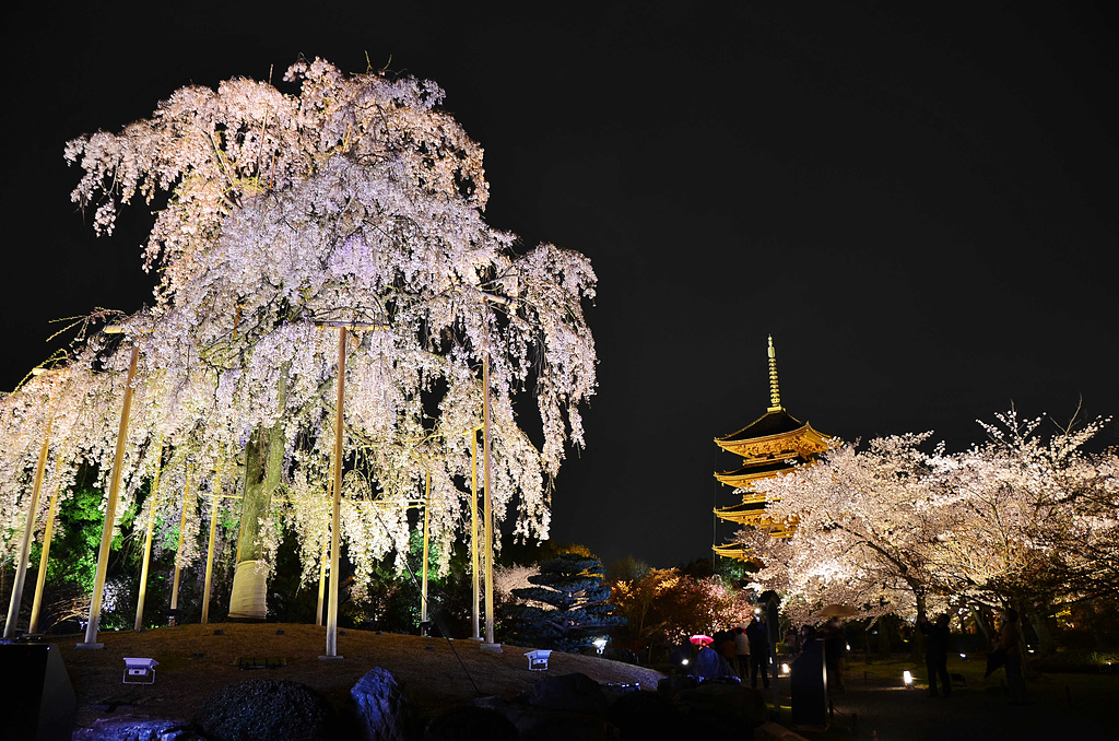 201403日本-關西京板神賞櫻:關西京阪神賞櫻20.jpg