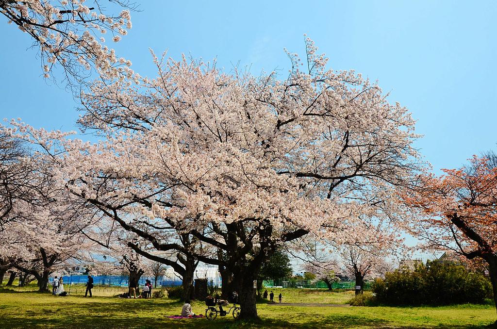 201403日本-關西京板神賞櫻:關西京阪神賞櫻26.jpg
