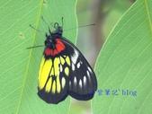 Pieridae粉蝶科:豔粉蝶/紅肩粉蝶