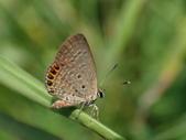 Lycaenidae灰蝶科:P8010221東方晶灰蝶.JPG