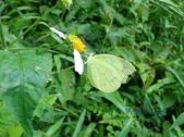 Pieridae粉蝶科:北黃蝶