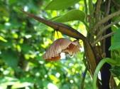 蝶蛹:臺灣麝香鳳蝶蛹