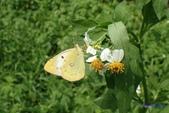 Pieridae粉蝶科:黃紋粉蝶(紋黃蝶)P9210292.jpg