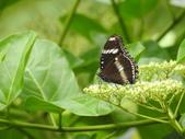 Nymphalidae蛺蝶科:DSCN9151琉球紫蛺蝶.JPG