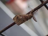 臺灣的蛾 moths of Taiwan:小白紋毒蛾PC130177.JPG