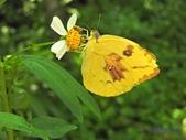 Pieridae粉蝶科:淡黃蝶(紅斑型)(雌)U 247.jpg