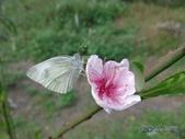 Pieridae粉蝶科:白粉蝶/紋白蝶&桃花