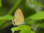Lycaenidae灰蝶科:姬波紋小灰蝶(波灰蝶)DSCN8143.JPG