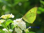 Pieridae粉蝶科:細波遷粉蝶/水青粉蝶(雌)