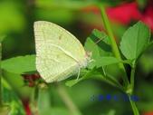 Pieridae粉蝶科:細波遷粉蝶/水青粉蝶(雄)