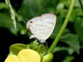 Lycaenidae灰蝶科:PB010021小白波紋小灰蝶.JPG