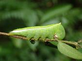 蛾幼蟲、繭、蛹:PB270142迴舟蛾屬(食草:柃木屬).JPG