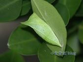 蝶蛹:青帶鳳蝶蛹
