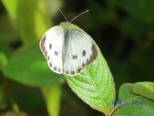 Pieridae粉蝶科:緣點白粉蝶/臺灣紋白蝶(雌)