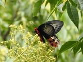 Papilionidae鳳蝶科:曙鳳蝶(雌)DSCN6319.JPG