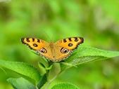 Nymphalidae蛺蝶科:DSCN4153孔雀蛺蝶.JPG