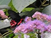 Papilionidae鳳蝶科:曙鳳蝶DSCN6227.JPG