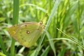 Pieridae粉蝶科:黃紋粉蝶(紋黃蝶)P9210321.jpg
