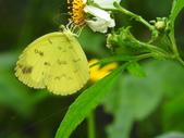 Pieridae粉蝶科:淡色黃蝶DSCN3770.JPG