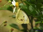 Pieridae粉蝶科:雌白黃蝶(雌)Y 292.jpg