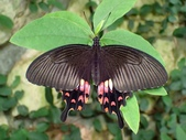 Papilionidae鳳蝶科:玉帶鳳蝶紅斑型P4260019.JPG