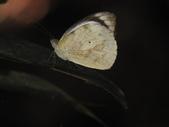 Pieridae粉蝶科:雲紋粉蝶DSCN7706.JPG