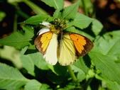 Pieridae粉蝶科:雌白黃蝶DSCN8556.JPG