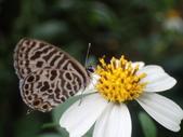 Lycaenidae灰蝶科:角紋小灰蝶PA100874.JPG