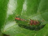 蛾幼蟲、繭、蛹:P2150069Euproctis virguncula  黑櫛白毒蛾.JPG
