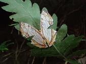 Nymphalidae蛺蝶科:P2150281石牆蝶網絲蛺蝶.JPG