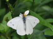 Pieridae粉蝶科:黃尖粉蝶/蘭嶼粉蝶(雄)