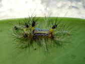 蛾幼蟲、繭、蛹:P9250093Susica sinensis 素刺蛾.JPG