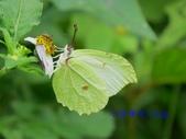 Pieridae粉蝶科:臺灣鉤粉蝶/小紅點粉蝶