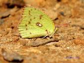 Pieridae粉蝶科:水青粉蝶(雌)A 165.jpg