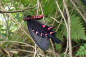 Papilionidae鳳蝶科:麝香鳳蝶剛羽化P4280158.JPG