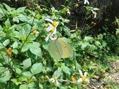 Pieridae粉蝶科:圓翅鉤粉蝶/紅點粉蝶