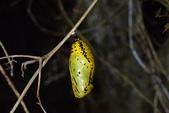 蝶蛹:大白斑蝶蛹P5130139.JPG