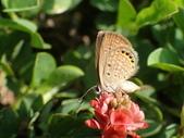 Lycaenidae灰蝶科:P8010340東方晶灰蝶.JPG