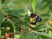 Pieridae粉蝶科:豔粉蝶/紅肩粉蝶&南美假櫻桃花