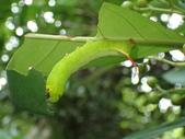 蛾幼蟲、繭、蛹:P9220066九節木長喙天蛾.JPG