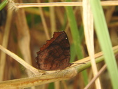 Nymphalidae蛺蝶科:樺蛺蝶DSCN5491.JPG