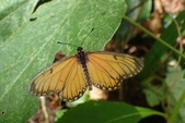 Nymphalidae蛺蝶科:細蝶P8070566.JPG