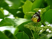Pieridae粉蝶科:DSCN9068紅紋粉蝶.JPG