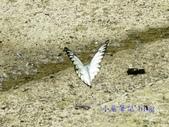 Pieridae粉蝶科:鋸粉蝶/斑粉蝶