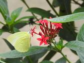 Pieridae粉蝶科:淡黃蝶(無紋型)DSCN6514.JPG